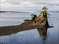 Lone tree on rock at coastal bay a struggles to survive a outcrop in siletz lincoln city oregon Royalty Free Stock Images