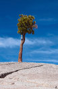 Lone tree on a stone hill at olmsted point in yosemite national park Royalty Free Stock Photo