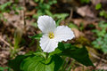 Lone trillium close up a single white growing on the forest floor grandiflorum is the official emblem of the province of ontario Royalty Free Stock Images