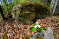 Lone trillium perspective a single white growing on the forest floor with a massive boulder from the canadian shield in the Stock Images