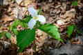 Lone trillium whole plant a single white growing on the forest floor grandiflorum is the official emblem of the province of Stock Photography