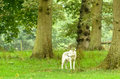 Lone wolf in forest at longleat Stock Images