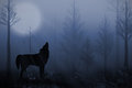 Lone wolf howling standing in the forest at dusk Royalty Free Stock Image