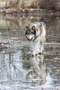 Lone Wolf Reflection Royalty Free Stock Images