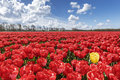 Loneliness being different of the yellow tulip among the warm color tulips farm and pure red tulips blossom under a sunny sky with Royalty Free Stock Photo
