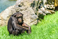 Lonely African Chimpanzee Royalty Free Stock Photo