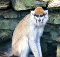 Lonely african patas monkey on a background a stony wall Royalty Free Stock Photo