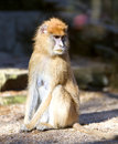 Lonely african patas monkey erythrocebus Royalty Free Stock Photos
