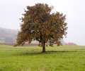 Lonely apple tree Royalty Free Stock Photo