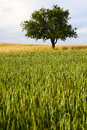 Lonely apple tree and cornfield in warm evening sun summer by honzrath saarland germany Stock Photos