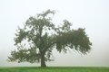 Lonely apple tree in fog Royalty Free Stock Photo
