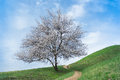 Lonely apricot tree at flowering time Royalty Free Stock Image