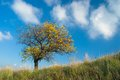 Lonely apricot tree on a hill at autumnal time. Stock Images