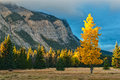 Lonely aspen tree stands in front of cascade mountain banff an has already changed to autumn golden color with pine forest and the Stock Photo