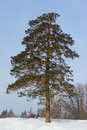 Lonely big pine tree in winter Royalty Free Stock Photo