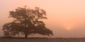 Lonely big tree on the field with fog and sun Stock Photography