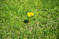 The lonely blossoming dandelion on a mowed lawn