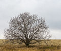 Lonely branchy walnut tree on an edge of agricultural field fields in ukraine Royalty Free Stock Photography