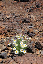 Lonely camomile in desert. Royalty Free Stock Photos