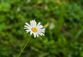 Lonely camomile in a summer garden Royalty Free Stock Image