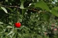 Lonely cherry on a branch red Stock Photography