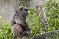 Lonely Chimpanzee Royalty Free Stock Photo