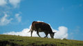 A lonely cow Royalty Free Stock Photo