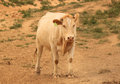 Lonely cow in Nevada, USA Royalty Free Stock Photo