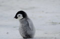 Lonely Emperor Penguin chick Royalty Free Stock Photo