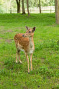 Lonely fallow deer loneyl looking sidewards Stock Photo