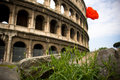 Lonely flower before coliseum, Rome Royalty Free Stock Images