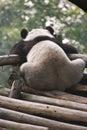 Lonely Giant Panda Stock Photo