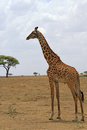 Lonely giraffe in the savanna Royalty Free Stock Photo