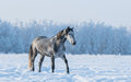 Lonely horse walks on the field gray at winter time Stock Photos