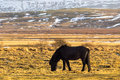 Lonely Icelandic horse Royalty Free Stock Photo