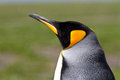 Lonely king penguin closeup of a falkland islands Stock Photo