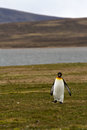 Lonely king penguin falkland islands Stock Image