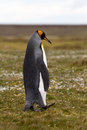 Lonely king penguin falkland islands Royalty Free Stock Image