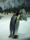 Lonely king penguin in zoo Australia Royalty Free Stock Photo