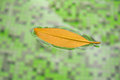 A lonely leaf floating on the surface of the pool, subject to co Royalty Free Stock Photo