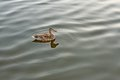 Lonely mallard on calm water wild duck floating Royalty Free Stock Photos