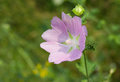 Lonely malva flower standing out against early summer background Royalty Free Stock Image