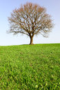 Lonely oak teree Stock Image