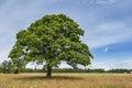 Lonely Oak Tree