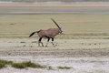 Lonely oryx in the etosha pan salt desert namibia Stock Images