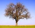 Lonely pear tree Stock Image