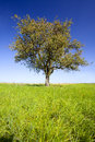 Lonely pear tree Royalty Free Stock Photo