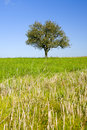Lonely pear tree Royalty Free Stock Images