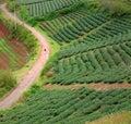 Lonely people, way, walk, tea field, Dalat Royalty Free Stock Photo