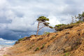Lonely pine on baltic coast small steep sea Stock Photography